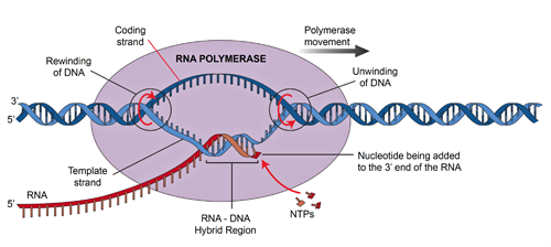 BS8MOLECULARGENETICS6.png