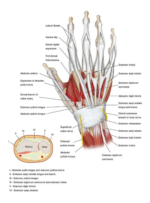 BS1SADorsal approach wrist 1.jpg