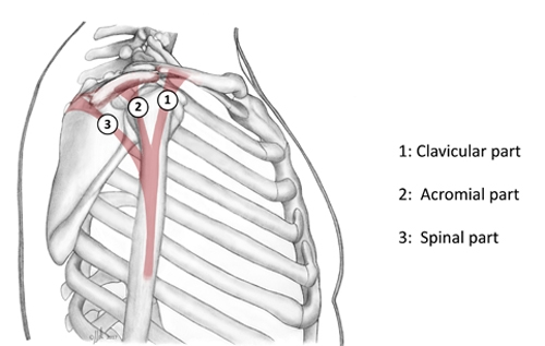 BS1SALateral approach shoulder 3.jpg
